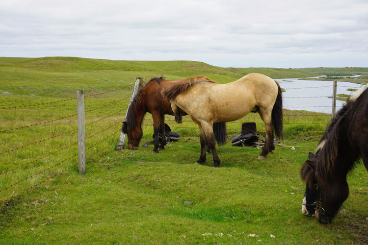 Iceland Icelandic Adventure Outdoors River Riverside Icelandic Horse Icelandic Horses Horseback Riding Horsebackriding  Grazing Break Rural Scene Grazing Agriculture Standing Field Horse Ranch Togetherness Paddock Pony Calm Herbivorous Tranquil Scene Grass Area Stable