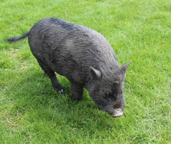 Animal Animal Themes Black Color Black. Pig. Close-up Day Field Grassy Green Color Mammal No People Outdoors Pet Pig. Porky Pig. Tame Pig.