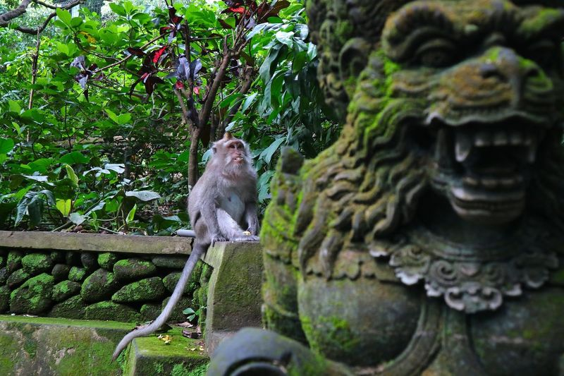 Grunts of monkey statues and monkeys themselves The long-tailed or latin kra monkey is called Macaca Fascicularis. The snarling expressions shown by monkeys at the monkey park in Ubud Bali (Ubud Monkey Forest Bali), the action of long-tailed kra monkey expression (Macaca Fascicularis) is meperebutkan food right in the building of a monkey sculpture that is growling. Animal Animal Themes Animals In The Wild Day Macaca Macaca Fascicularis Mammal Monkey Monkeys Nature No People One Animal Outdoors Tree Wild Wildlife