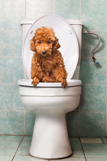 Conceptual of cute poodle pet dog pooping into home toilet bowl Poodle🐩 Sitting Toilet Animal Themes Bathroom Conceptual Photography  Day Dog Domestic Bathroom Hygiene Indoors  Mammal No People Pets Poodle Love Pooping Toilet Bowl Wc