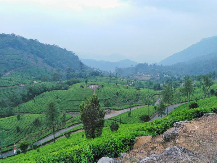 Tea estate, view from the top at Munnar Agriculture Farm Nature Landscape Field Rural Scene Crop  Plantation Mountain Growth Tea Crop Green Color Beauty In Nature Outdoors Beauty Tranquil Scene Sky Scenics Terraced Field Rice Paddy India Travel Destinations Kerala Tranquility Munnar