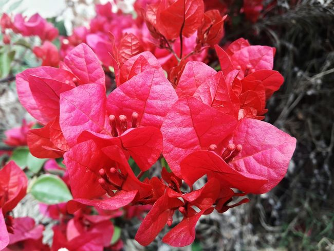 The different shades of people you get to meet depends upon how colourful one's heart is. Nature Red Freshness😍💯❤ Beauty In Nature Flower Head Close-up Petal Outdoors No People Leaf Fragility Flower Plant Enlightenment