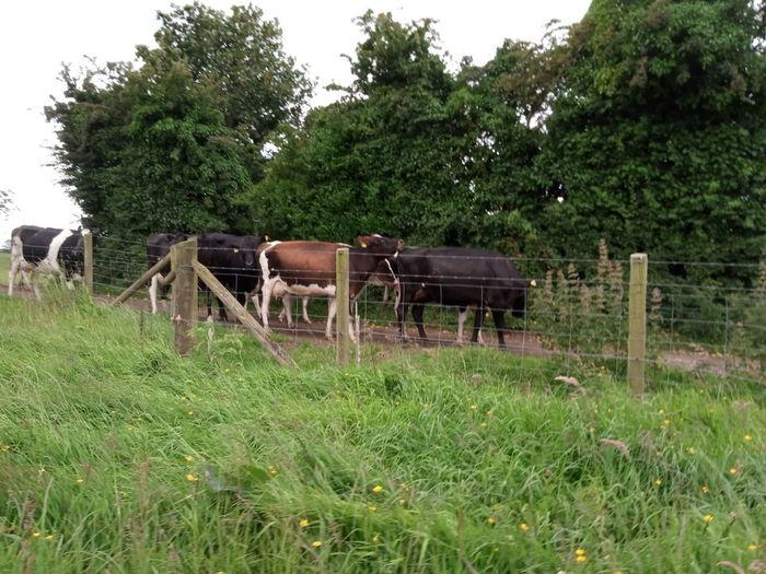 Female cows