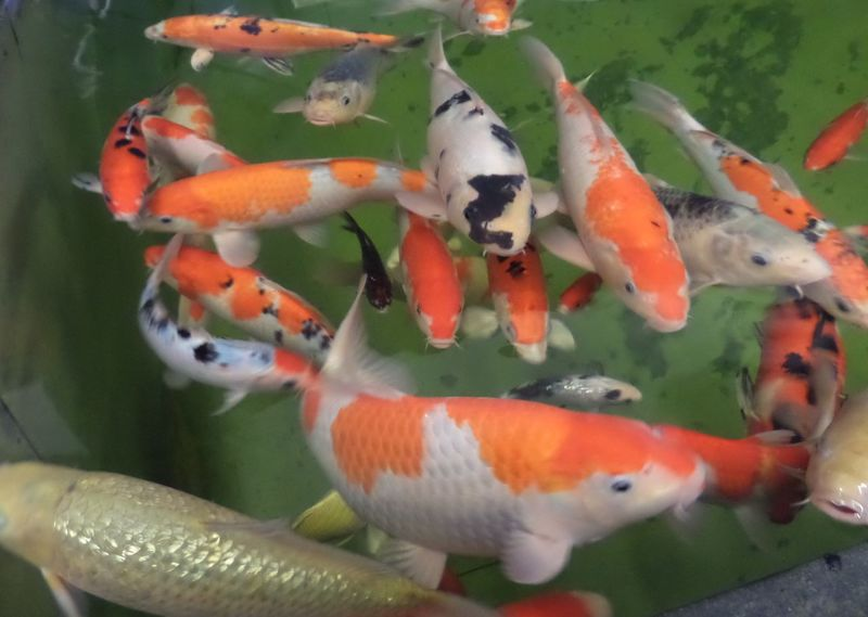 Animal Themes Beauty In Nature Close-up Colourful Fish Fish Fish Swimming Green Color Koi Carp. Koi. Large Fish. Many Fish Many Koi Carp Swimming. Multi Colored Nature No People Orange Colour Pink Color Pond Fish Swimming