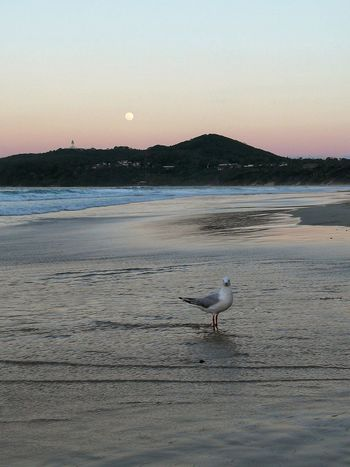 Beach Sea Animal Animal Wildlife Animals In The Wild Nature One Animal Water Sand Tranquility Sea Life Outdoors No People Beauty In Nature Seagull Travel Destinations Landscape Blue Lighthouse Moon Moonlight Moon Rising Full Moon Byron Bay Australia