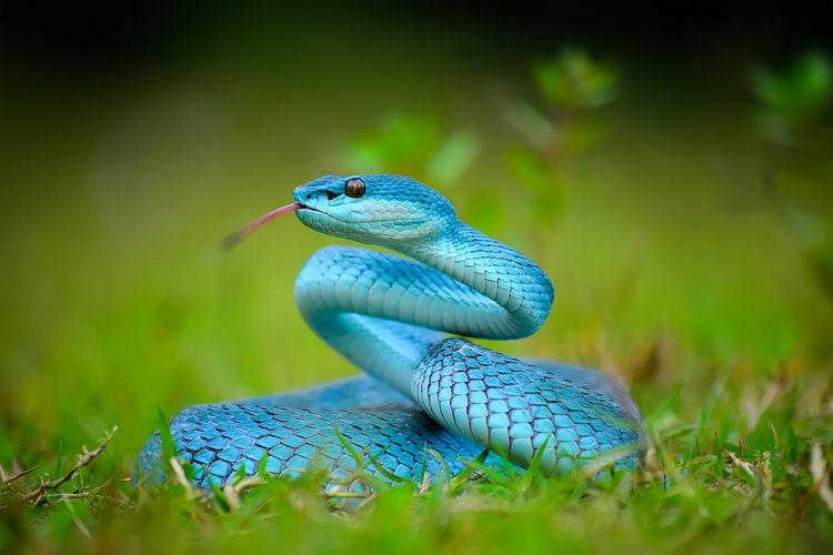 Close-up of blue snake