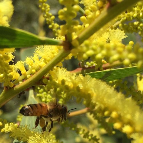 @izzymaxie Walking at lunchtime came across a small flowery wartime tree full of buzzing bees. Outdoor Photography Bee Closeup Photography Wattle Tree Wattle Flower Outddors Nature Photography Nature_collection