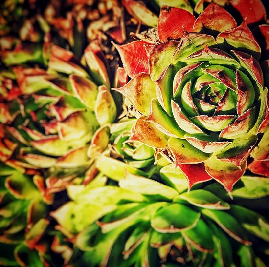 Succulents 3 Close-up Nature Leaf Beauty In Nature Plant Growth Freshness Fragility No People Green