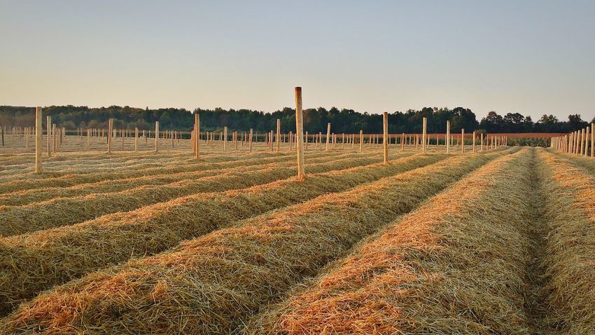 Sunrise Countryside Farmland Hay Stands Ginseng