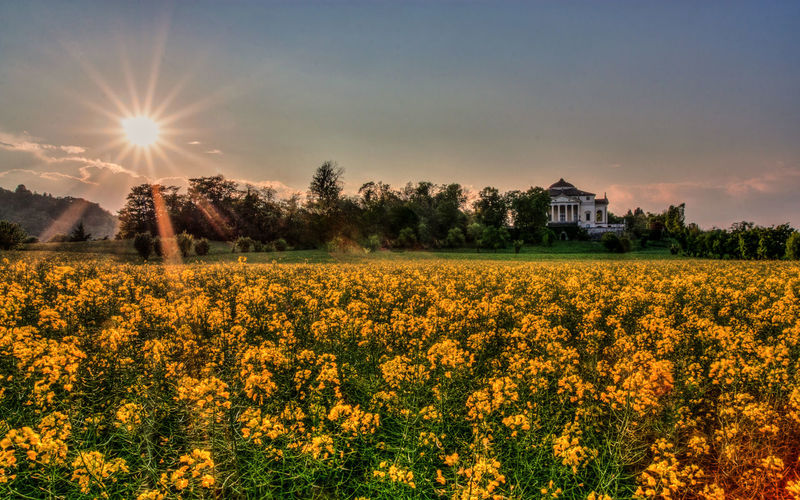 Yellow flowers in field against sky at sunset