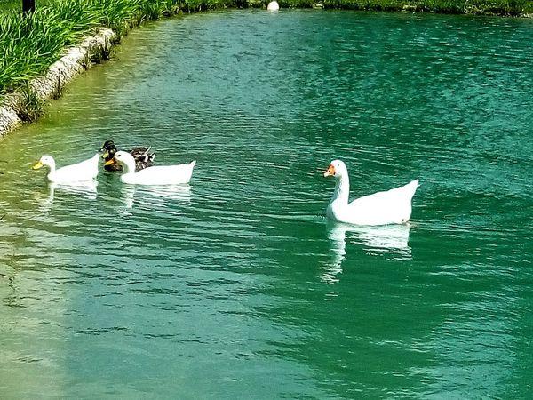 Ducks In Water Animal Ducks Bird Water Water Bird