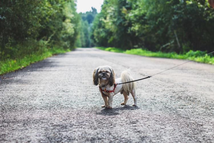 Dog In Harness Walking On Road