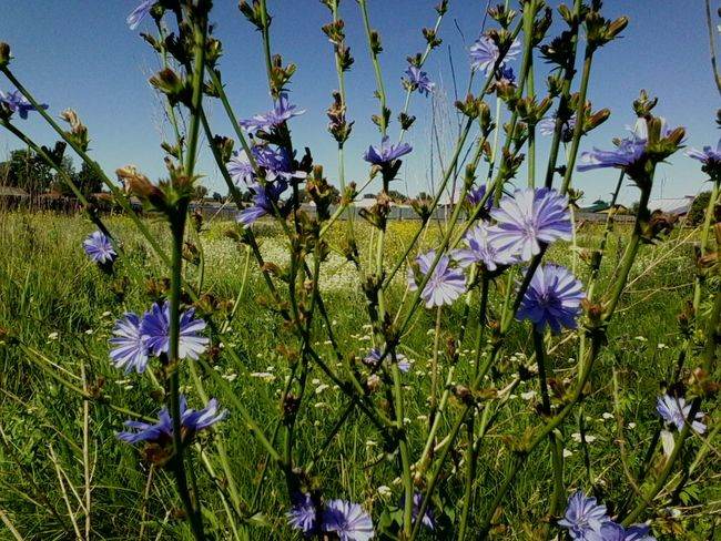 Chicory 🌾☔beautiful flower Flower Fragility Freshness Growth Beauty In Nature Nature Blue Purple Sunlight Plant Field Outdoors Day Close-up Flower Head Sky Russia EyeEmNewHere Мордовия Пурдошки Темников Chicory цикорий Endive Mordovia
