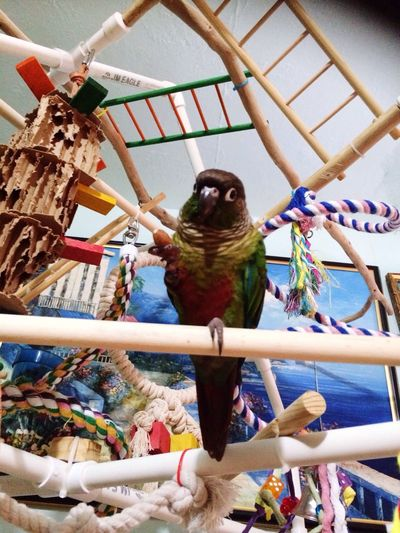 Animals Birds Conure Greencheekconure