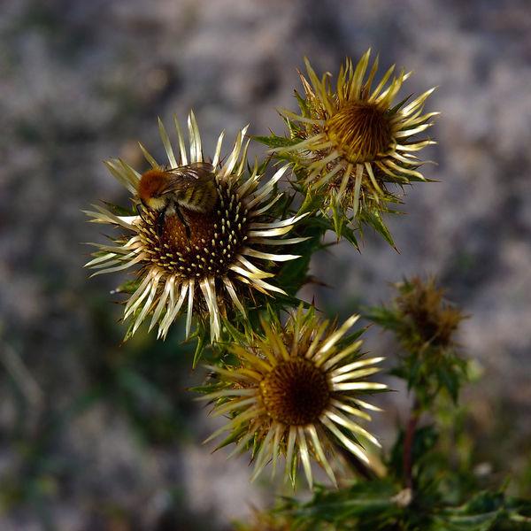 Abeille Fleurs Bee Chardon Fleurs Flowers