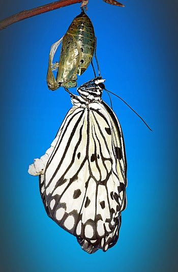 Metamorphosis series, part three of three. A Paper Kite Butterfly emerging. Also known as a Rice Paper butterfly or a Large Tree Nymph. Insect Butterfly Lepidoptera Entomology Paper Kite Butterfly Animal Themes Close-up Portrait Metamorphosis Nature Wildlife Photo Photography Photographer Fragility Beauty In Nature Beautiful Nature EyeEm EyeEm Masterclass EyeEmBestPics EyeEm Best Shots EyeEm Gallery EyeEm Best Edits Change Rebirth