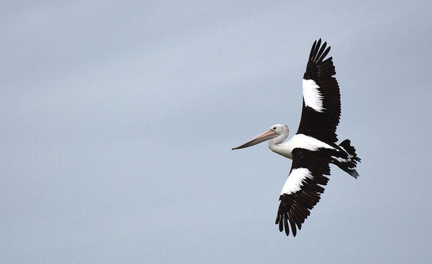 Pelican in Flight Birds Blue Clear Sky Inflight One Animal Pelican Spread Wings