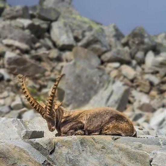 Ibex Animal Horny Rocks Alps Saasfee Plattjen Mountain Sunbathing Furry