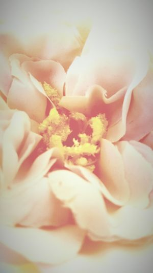 Vintage Flowers, Nature And Beauty Rose - Flower Nature_collection Silk Rose
