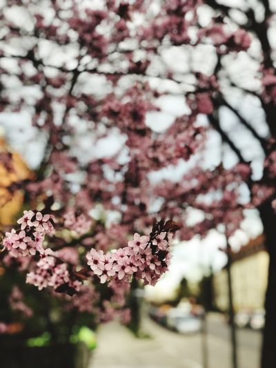 Some Flowers Flower Flowering Plant Plant Tree Freshness Fragility Growth Blossom Focus On Foreground No People Springtime Close-up Pink Color Day Cherry Tree