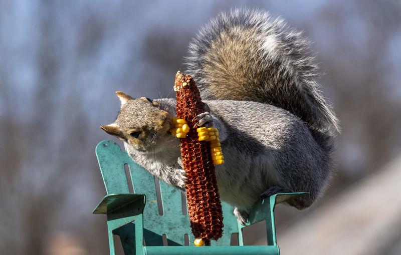 Close-up of squirrel eating bird