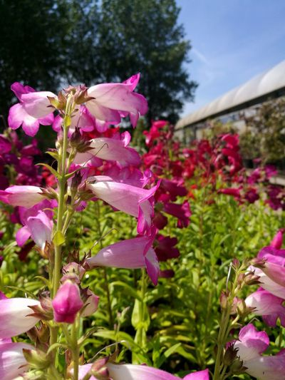 Penstemon Flower Pink Color Purple Nature Plant Outdoors Growth Day No People Beauty In Nature Fragility Freshness Flower Head Close-up