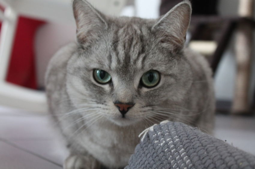 Pets Domestic Animals Cats Of EyeEm No Filter One Animal My Cat No People Indoors  Looking At Camera My Cat♥ Domestic Cat Portrait Domestic Animals Animal Themes Animalphotography Close-up No Edits No Filters Premium Collection Canon Eos 1100 D