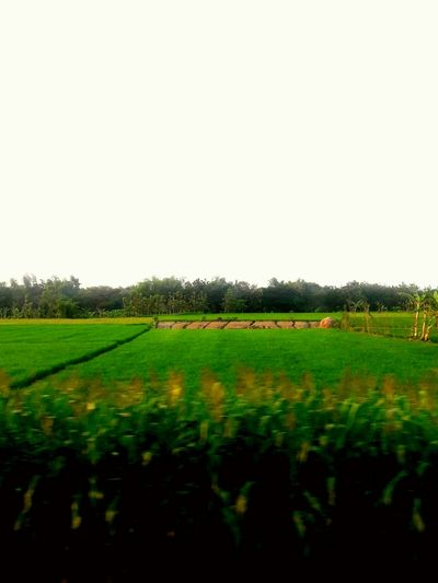 Rice fields Agriculture Nature Rural Scene Field No People Tranquility Beauty In Nature Sky Outdoors Cereal Plant Scenics Tree Day Rice Paddy Freshness