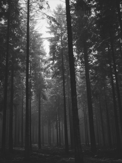 Tree Forest Nature Tree Trunk WoodLand Pinaceae Beauty In Nature Pine Tree Tree Area Landscape Outdoors Tranquility No People Day Growth Freshness Sky Pine Wood Pinetrees Monochrome Ardennes Belges Ardennes Black And White Friday Pines