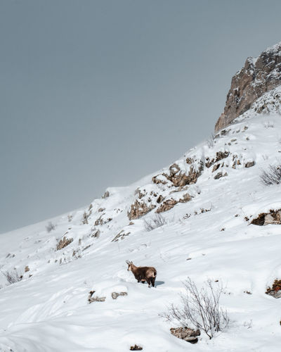 View of chamois on snow covered mountain against sky