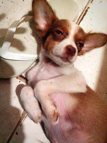Pets Dog Animals Cachorro Havaianas Simpatia Lindo  Pose Cao