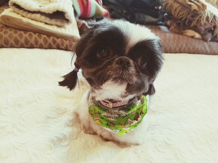 EyeEm Selects Shih Tzu Groomer Dog Pets Domestic Animals One Animal Animal Themes Mammal Portrait Indoors  Pet Clothing Looking At Camera No People Boston Terrier Day Close-up