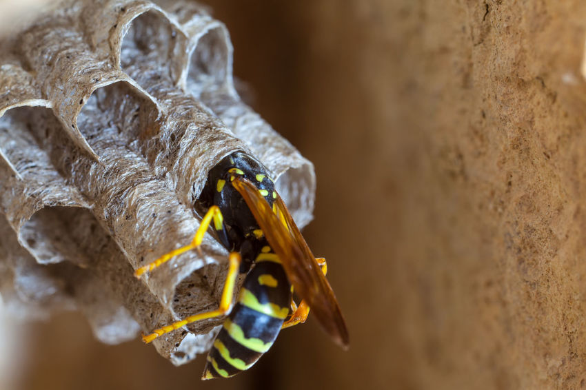 Paper Wasp building Nest Macro Photography Nesting Paper Wasp Animal Themes Animal Wildlife Animals In The Wild Bee Close-up Day Insect Macro Nature Nest No People Oculii One Animal Outdoors Paper Wasp Nest