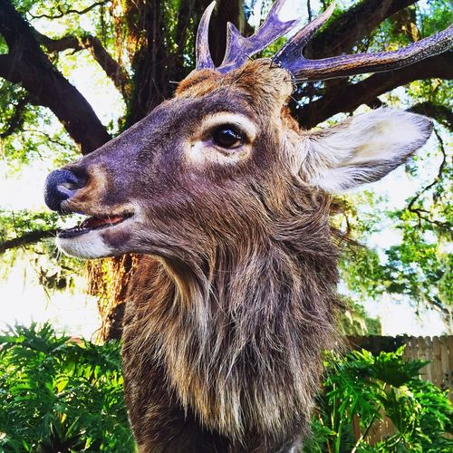 One Animal Animal Themes Tree Deer Mammal Animal Head  No People Day Outdoors Close-up Animals In The Wild Antler Nature Sika Deer Taxidermy