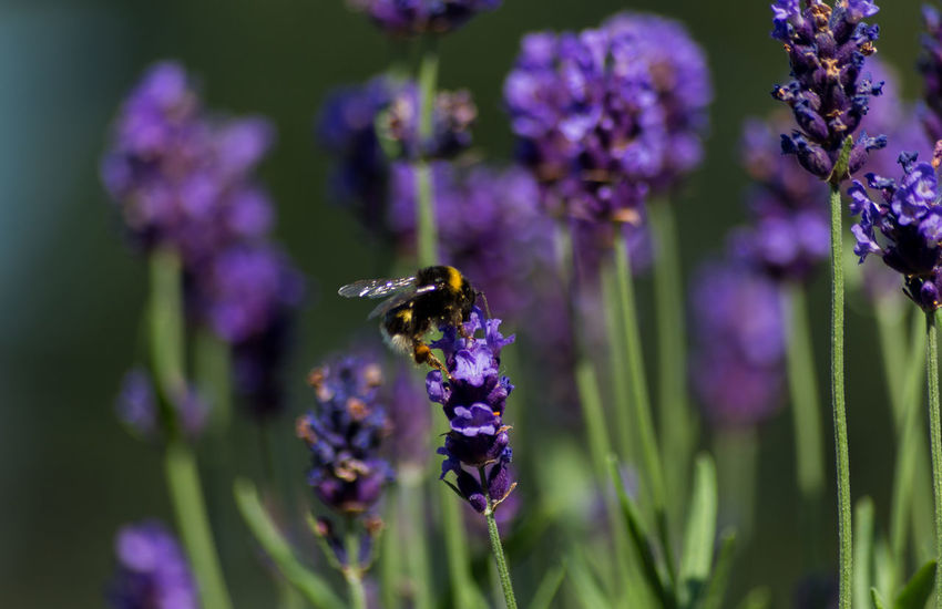 Bumblebee on lavender Beauty In Nature Bumblebee Buzzing Close-up Flower Flower Head Freshness Insect Lavender Nature One Animal Outdoors Pollination Purple