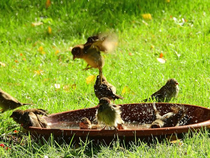 Badetag EyeEm Nature Lover To Bathe Sparrow Enjoying Life Garden Grass Green Color Plant Nature No People Day Water Animal Themes Outdoors Animal Animals In The Wild Close-up Wet Sunlight