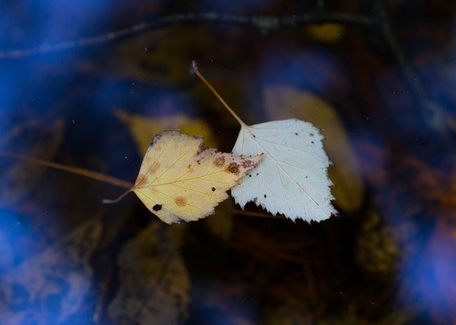 Floating Autumn Autumn Collection Autumn Colors Autumn Leaves Autumn🍁🍁🍁 Beauty In Nature Close-up Floating Floating On Water Fragility Leaf Nature Outdoors Water