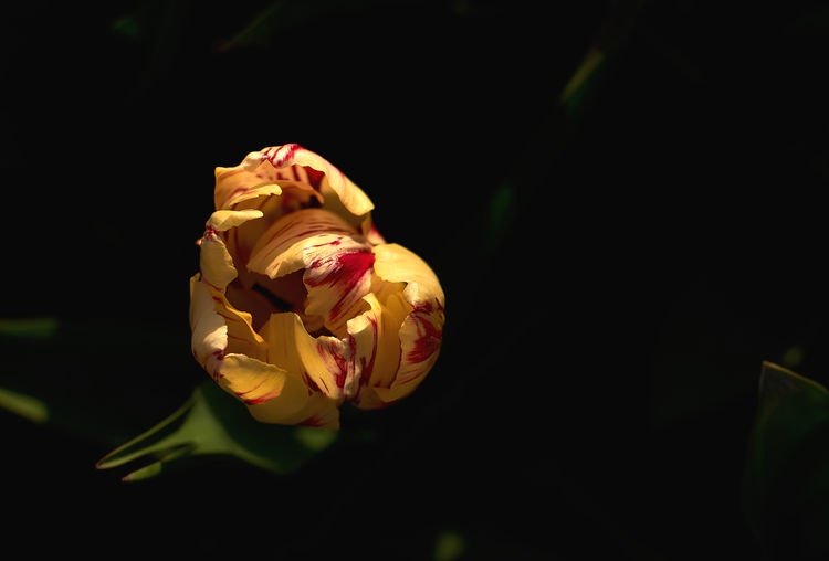 Close-up of rose plant against black background