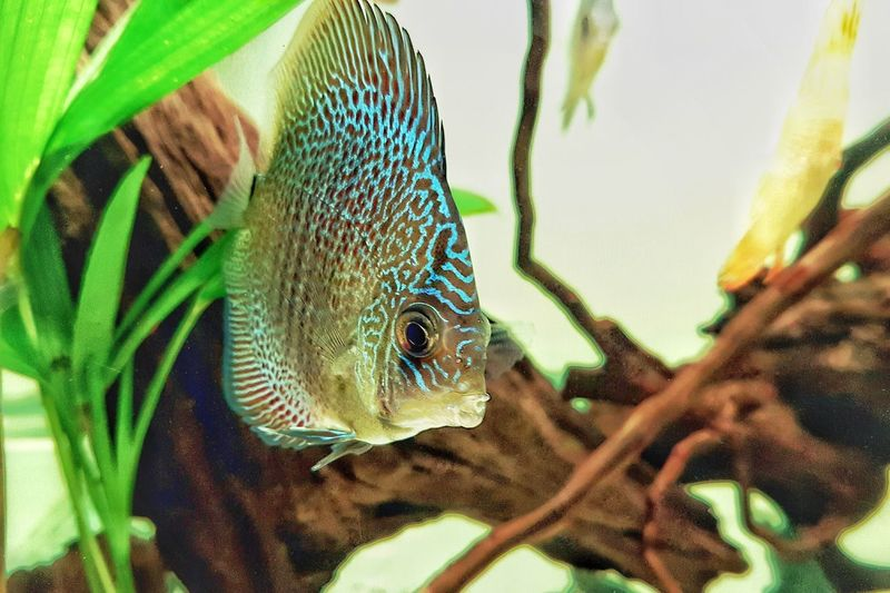 Close-up of discus fish in tank