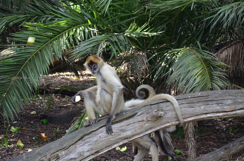 Spider Monkey Sitting On Wooden Fence At Zoo