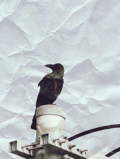 カー、カー、カエリタイ😭✨ Hello World Bird Crow Eyemphotography Taking Photos From My Point Of View Birds_collection Darkness Hanging Out Lookingup 電柱♡Love