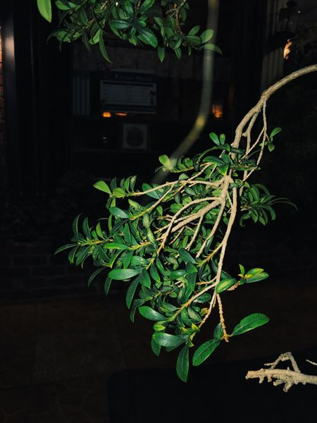 Green Color Leaf Plant Potted Plant Growth No People Night Freshness Nature Ivy Close-up Indoors  Flash Outside Restaraunt Flower