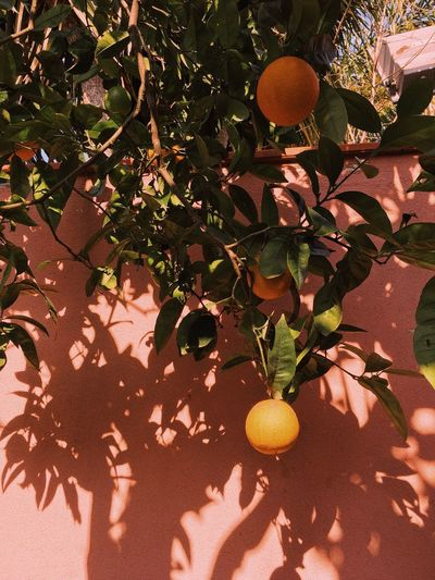 Italy EyeEm Gallery EyeEmNewHere EyeEm Nature Lover EyeEm Best Shots Sicily Europe Orange - Fruit My Best Photo Sunlight Plant Growth Nature Shadow Day No People Leaf High Angle View Branch Green Color Plant Part Outdoors Tree Sunny Close-up Beauty In Nature Fruit Freshness Land