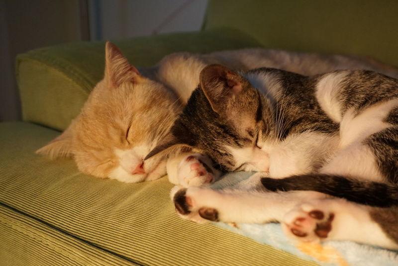 喵星人 喵 Kitten 毛小孩 Domestic Life Cat Catoftheday Cute 貓 貓咪的日常 Gato Meow Photooftheday Neko Sony Sony A6000 SonyAlpha6000 Lovelovelove Domestic Animals 貓咪睡覺 Animal Themes Pets Domestic Cat