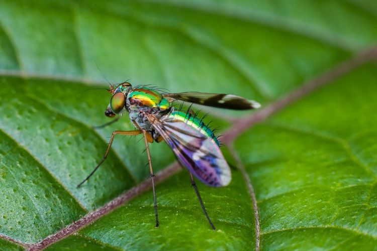 Close up view of flesh fly on top of green leaf Animal Themes Animals In The Wild Close-up Day Dirty Flesh Flesh Fly Fleshfly Fly Insect Insect Photography Insects  Macro Macro Photography Nature No People One Animal Outdoors Robberfly