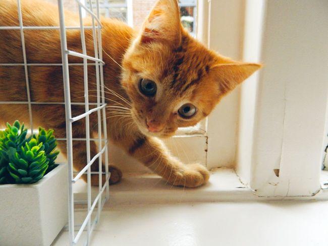 Simba. Cute Kitty Kitten Cat Pets Animals Red Beautiful