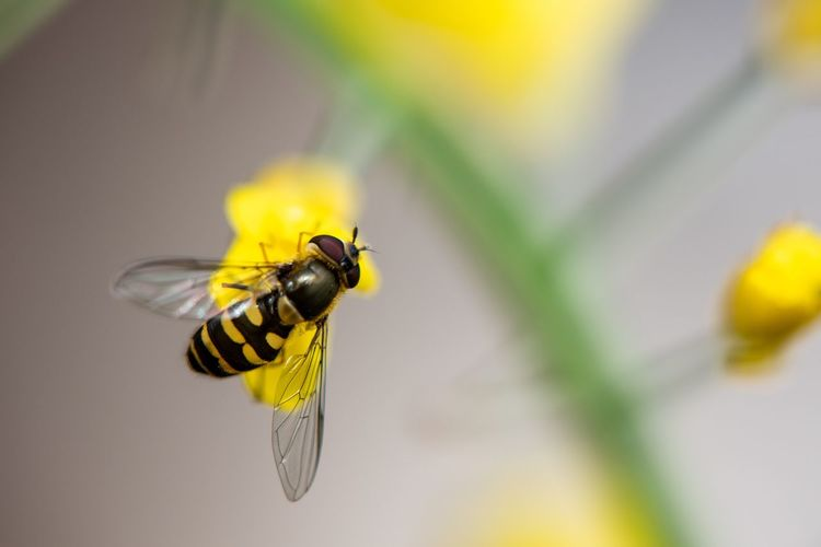 Hover fly... Rapeseed Macro Insects Macro Mimicry Syrphid Fly Syrphidae Hoverfly Fly Diptera EyeEm Selects Invertebrate Insect Animals In The Wild One Animal Animal Themes Animal Wildlife Animal Yellow Close-up Focus On Foreground Animal Wing Beauty In Nature Nature No People Fly Outdoors Flower Selective Focus