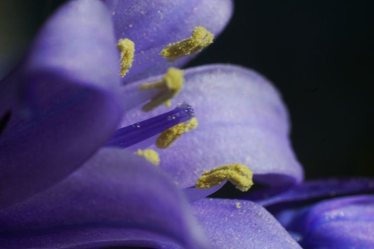 Almost half the world's bluebells are found in the UK and they're relatively rare in the rest of the world. Garden Photography Bluebell Petal Springtime In Bloom Macro Photography Flower Flower Head Purple Close-up Pollen Blooming Stamen Single Flower Pistil