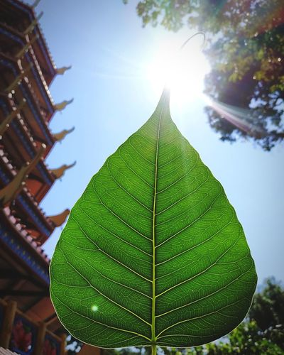 Bodhi Leaf Bodhi Tree Bodhi Leaf Buddha Buddhism Tree Leaf Sun Sunlight Sky Close-up Green Color Architecture Leaves