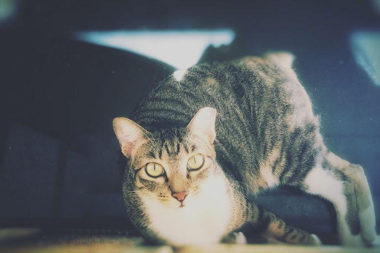 Cat Pets Meow Furry Friends